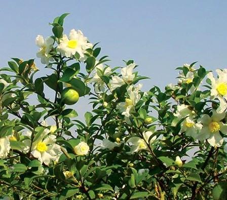 黄金时代纯山茶油—引领健康生活